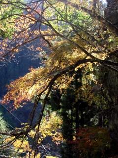 梶谷の枝垂れモミジ